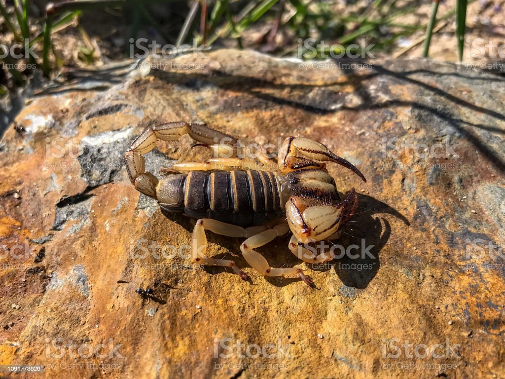Cape Burrower Scorpion (Opistophthalmus capensis) stock photo