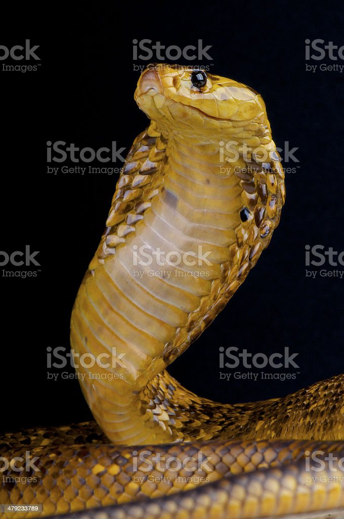 Cape cobra / Naja nivea royalty-free stock photo