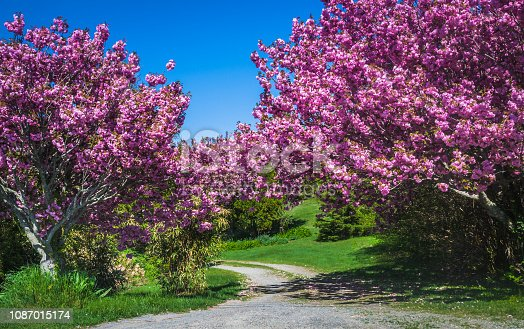 Beautiful pink Japanese Ornamental Cherry trees surround an unpaved lane on Cape Cod.