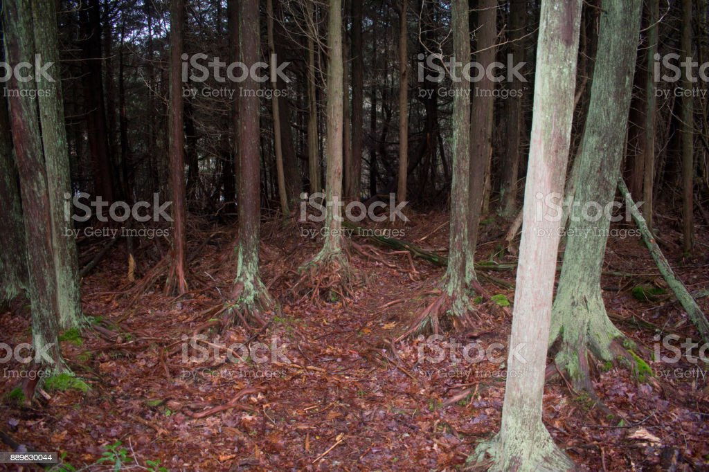 Cape Cod Forrest stock photo