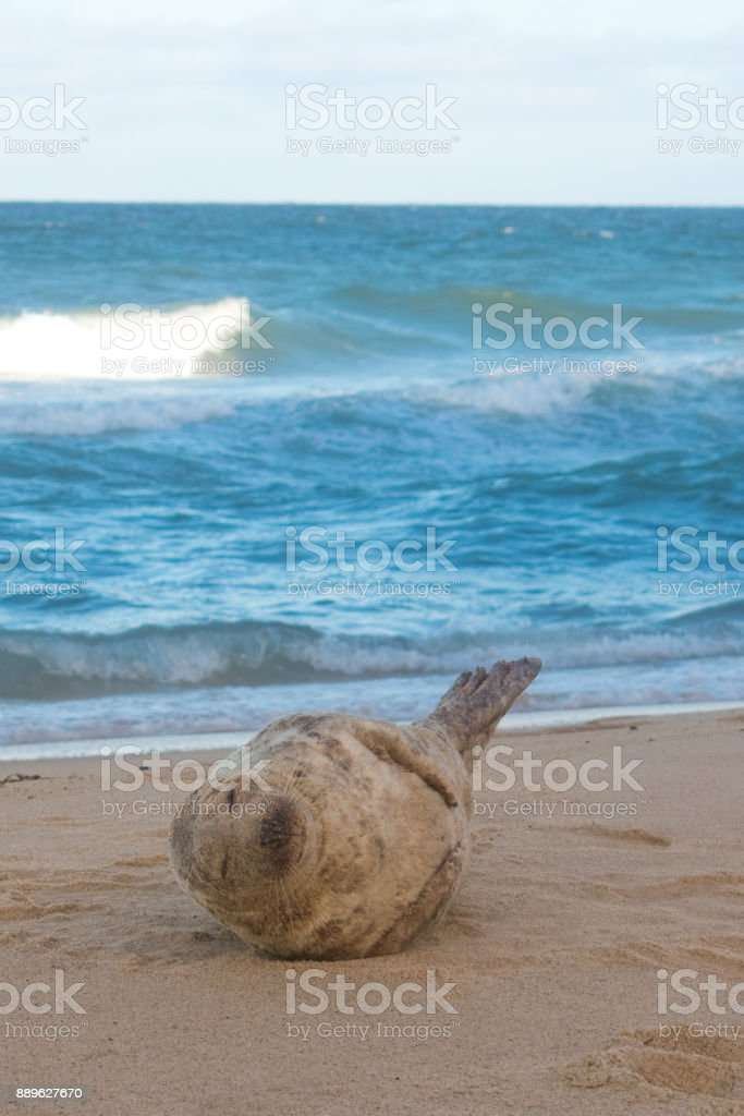 Cape Cod Seal in National Park stock photo