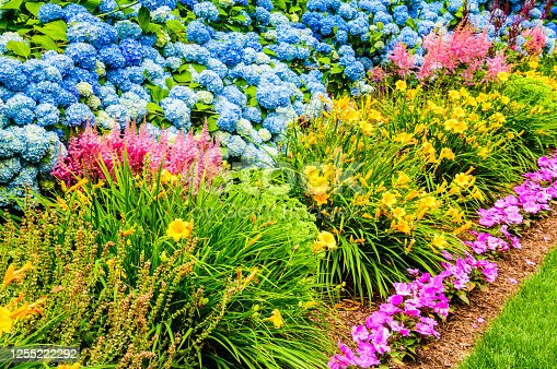 A Cape Cod garden border consists of  purple impatiens, yellow day lilies, pink astilbe against a backdrop of blue hydrangea blossoms.
