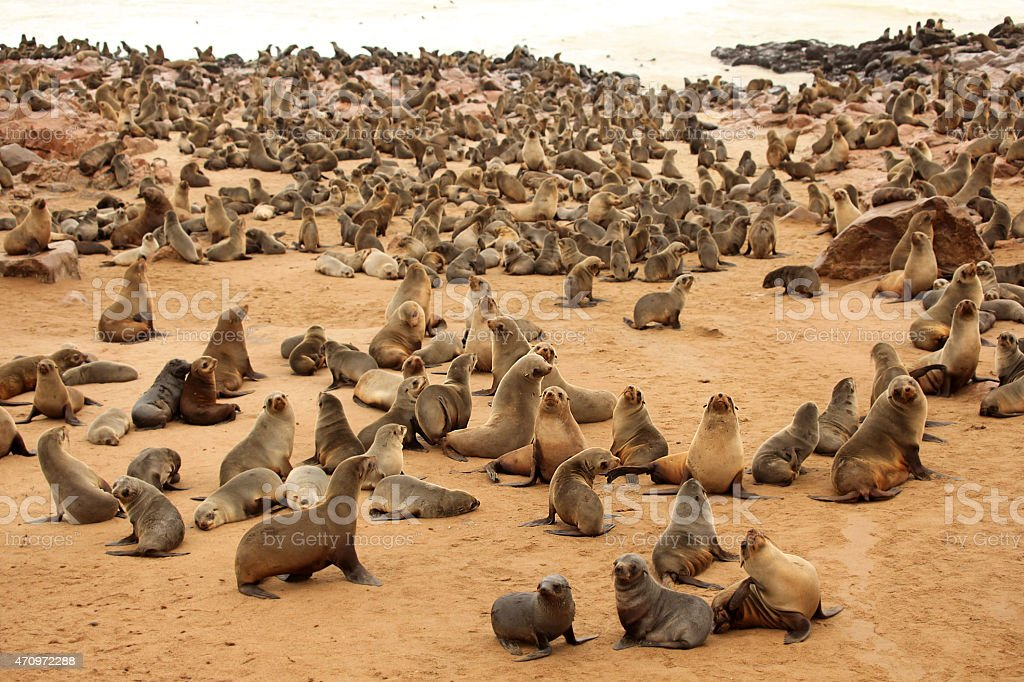 Cape Cross Seal Colony in Namibia stock photo