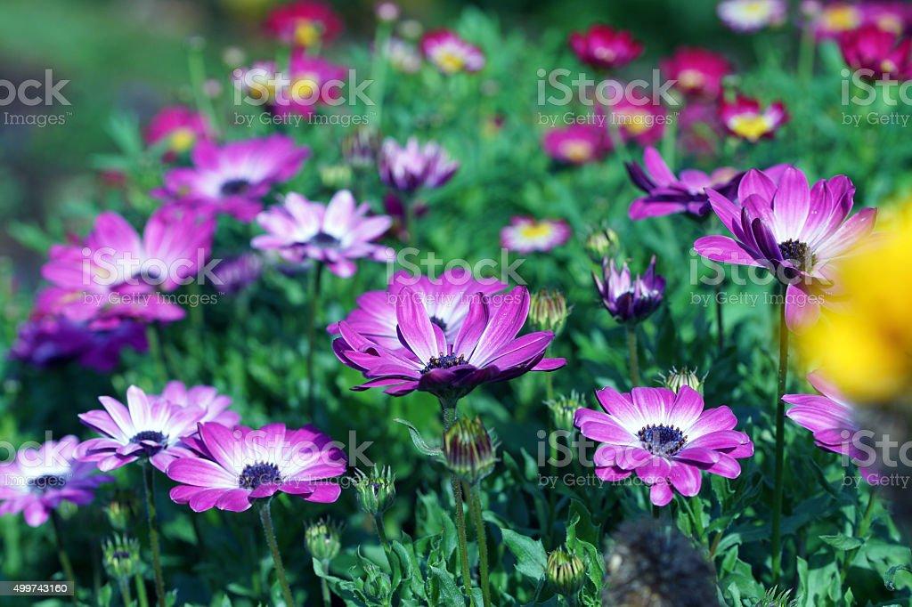 Cape daisies stock photo