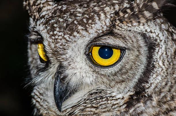 Cape Eagle Owl eyes stock photo