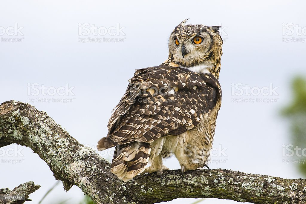 Cape Eagle Owl perched on tree limb in South Africa stock photo