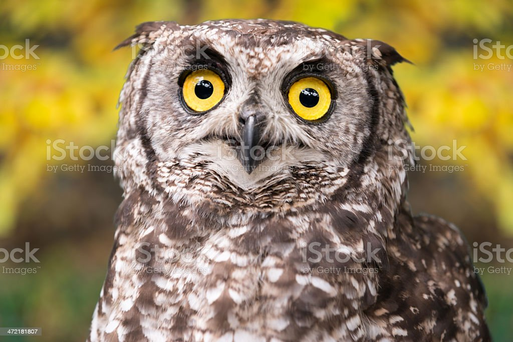 Cape Eagle-Owl, Bubo Capensis stock photo