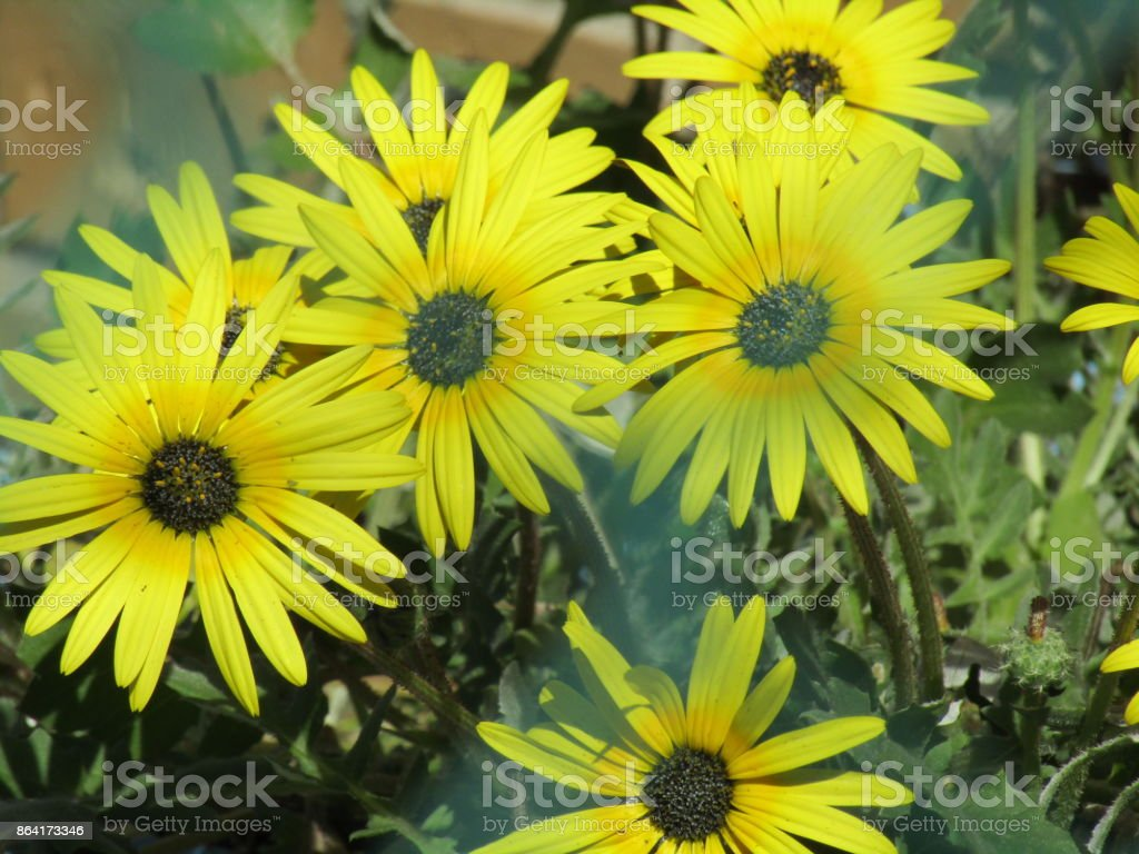 Cape Flora royalty-free stock photo