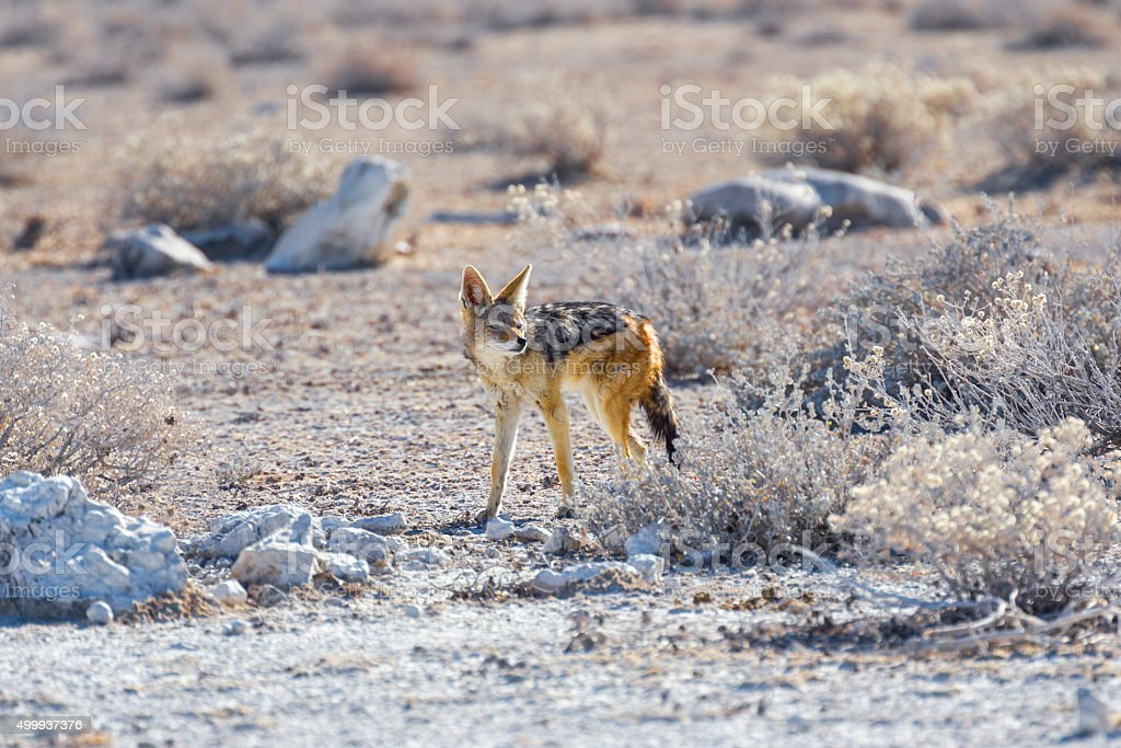 Cape Fox in Etosha National Park, Namibia stock photo