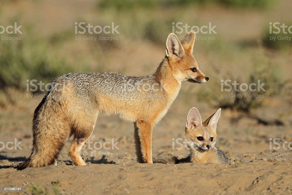 Cape foxes stock photo