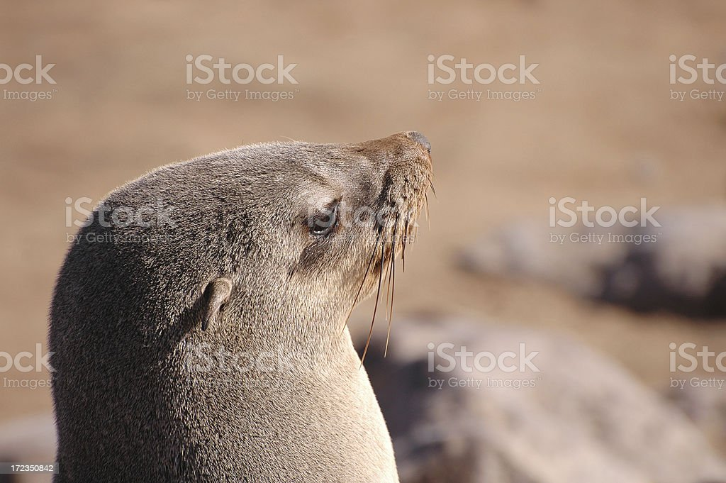 Cape Fur Seal II royalty-free stock photo