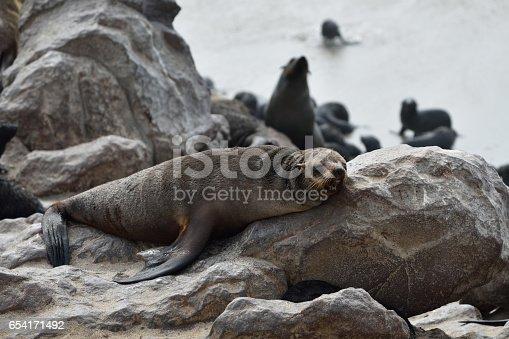 Old cape fur seal sleeping on the stone coast of Atlantic ocean. Seal colony on the Cape Cross, Skeleton Coast, Namibia