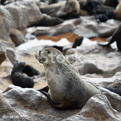 Cape fur seal sits on the stone coast of Atlantic ocean. Seal colony on the Cape Cross, Skeleton Coast, Namibia