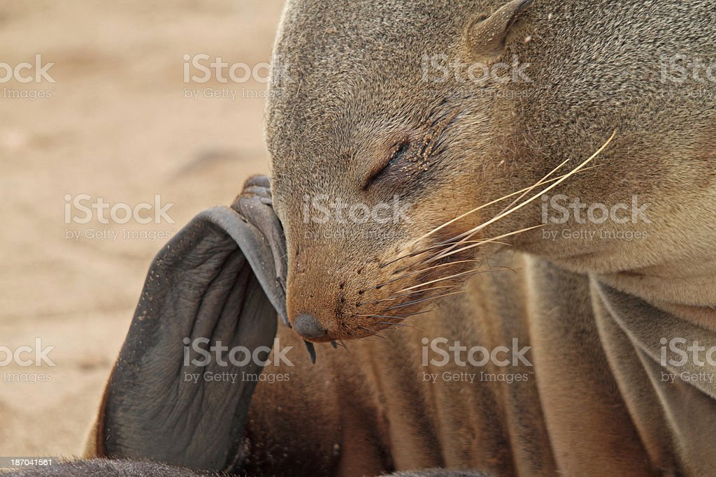 cape fur seal stock photo