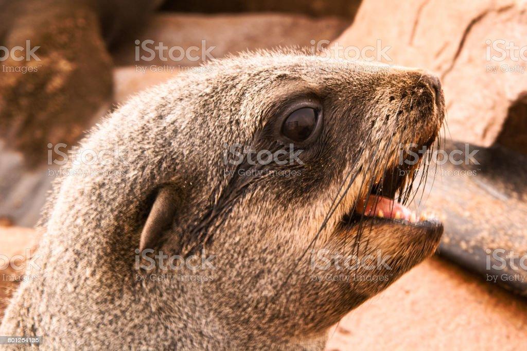 Cape Fur Seal stock photo