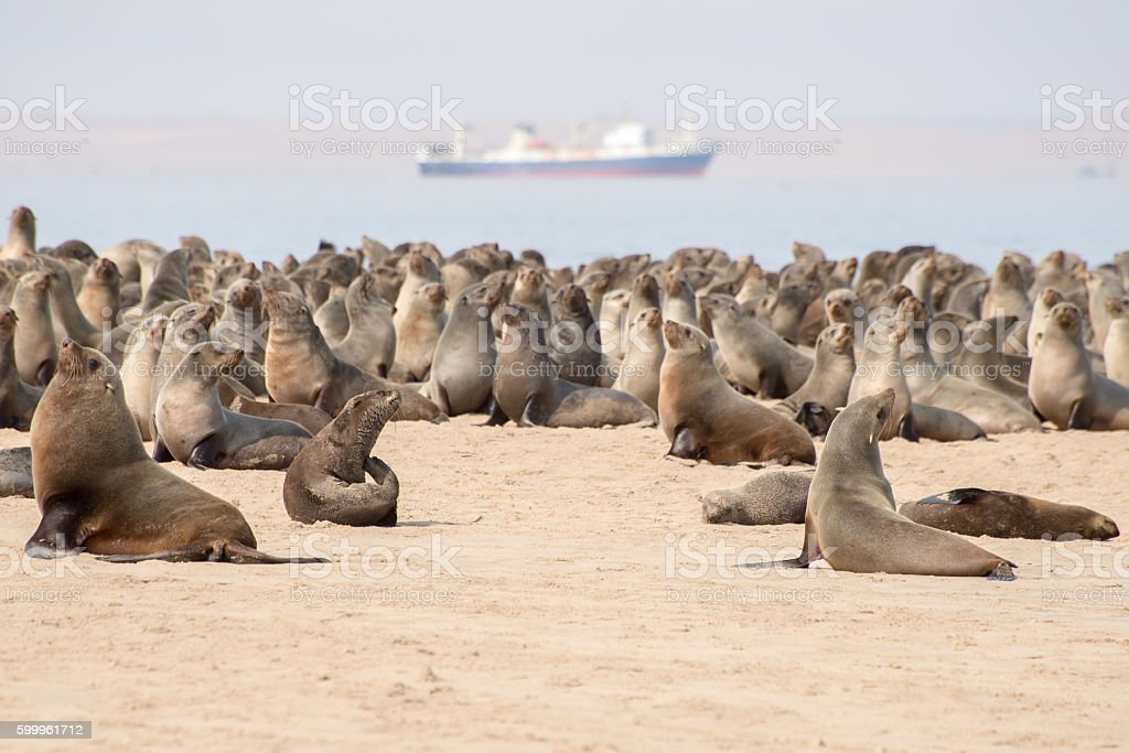 Cape Fur Seals at Pelican Point stock photo