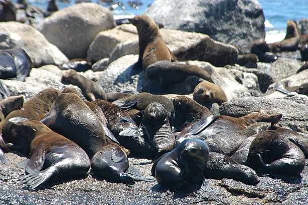 Cape Fur Seals colony  hout stock pictures, royalty-free photos & images