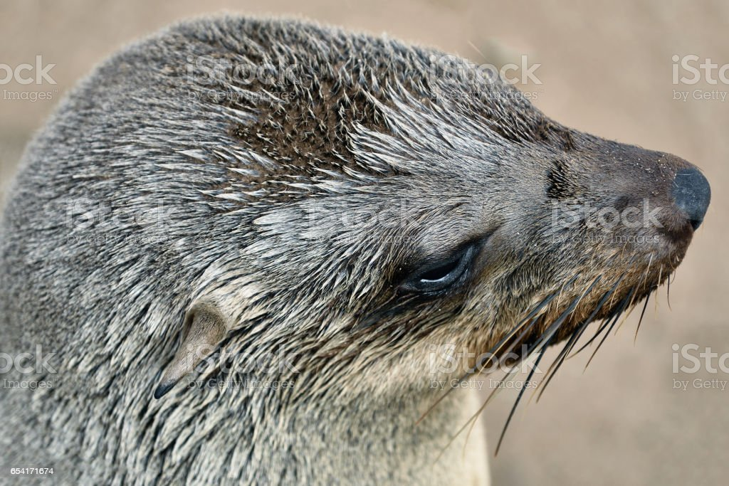 Cape fur seals, Namibia stock photo
