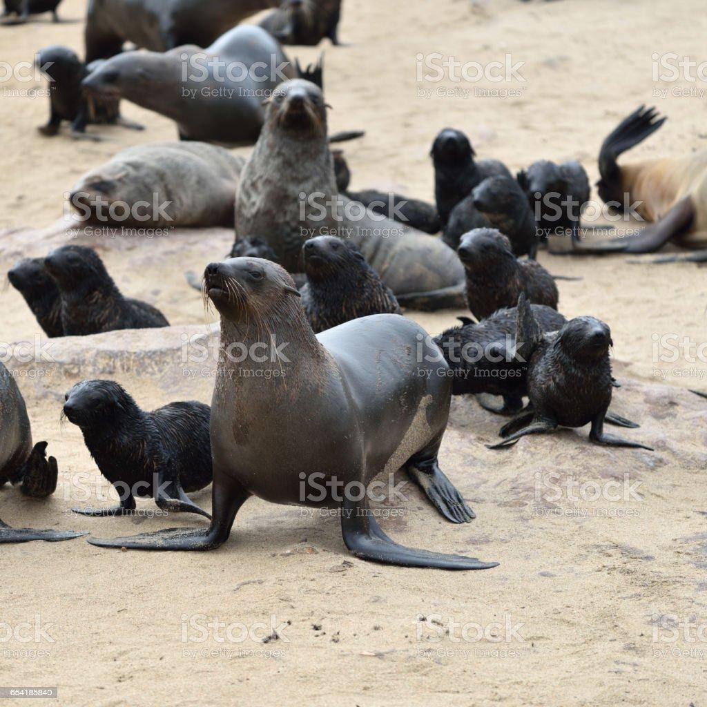 Cape fur seals on Cape Cross, Namibia stock photo