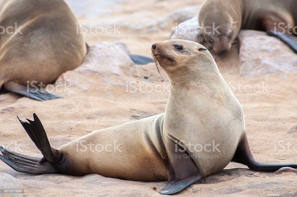 Cape Fur Seals stock photo