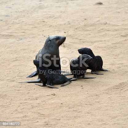 Young Cape fur seals and theirs mother, Skeleton Coast, Namibia