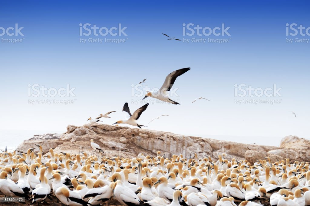 Cape gannet breeding colony at the Bird Island Nature Reserve , Lambert's Bay , South Africa stock photo
