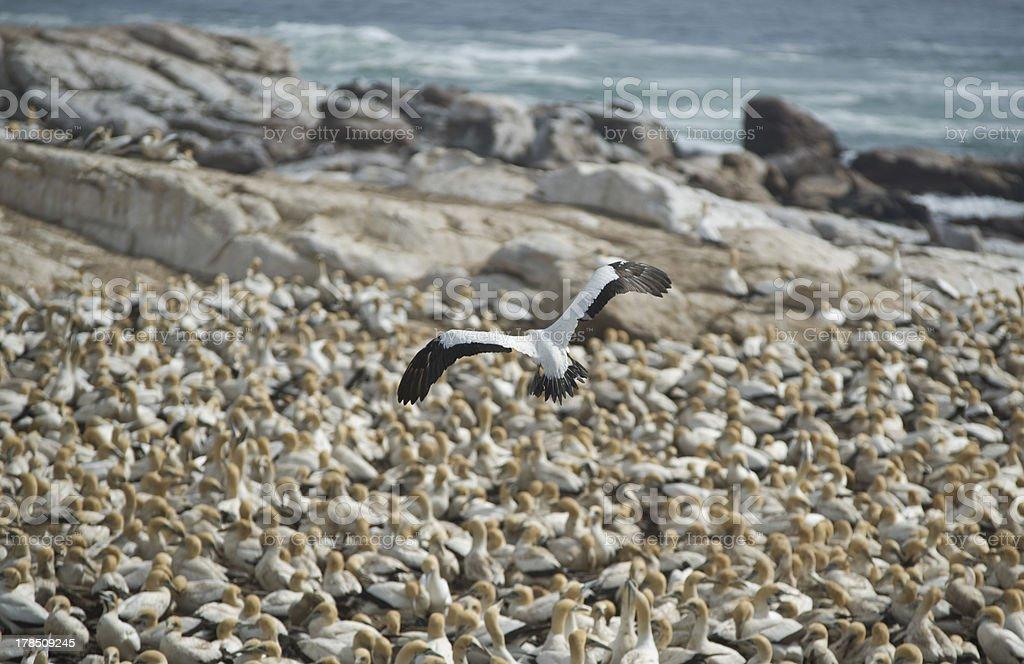 Cape Gannet Colony stock photo