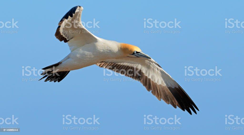 Cape gannet in flight stock photo