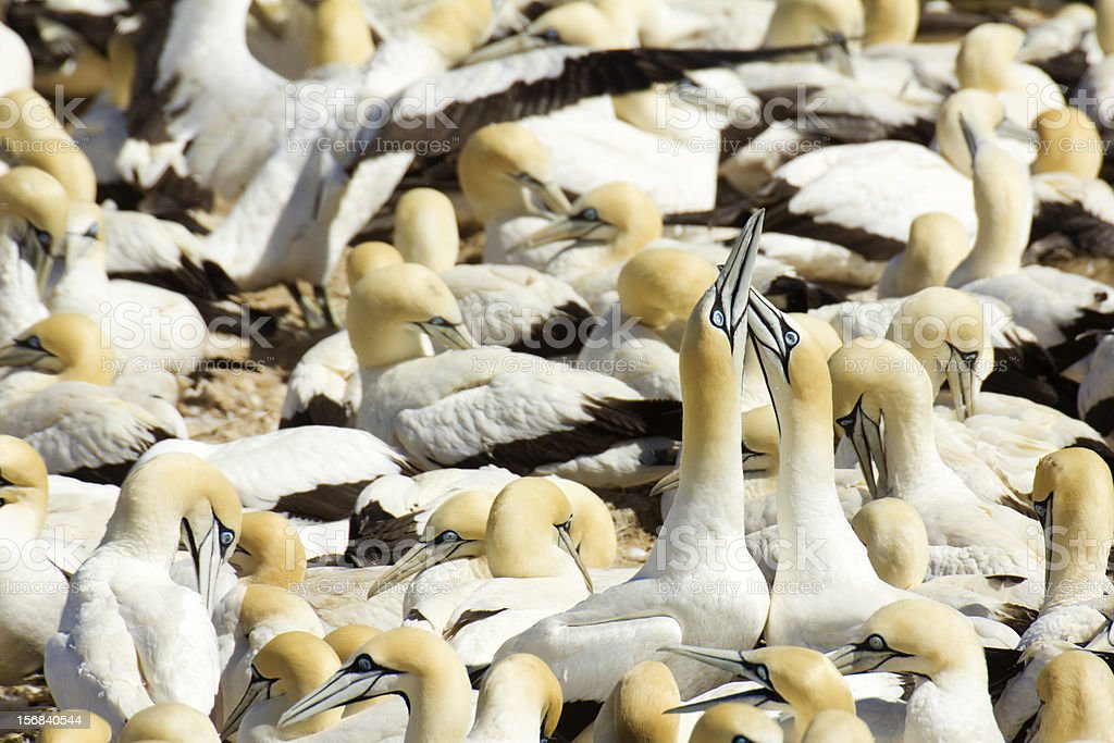 Cape Gannets royalty-free stock photo