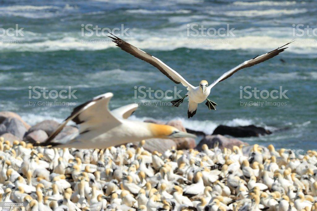 Cape gannets stock photo