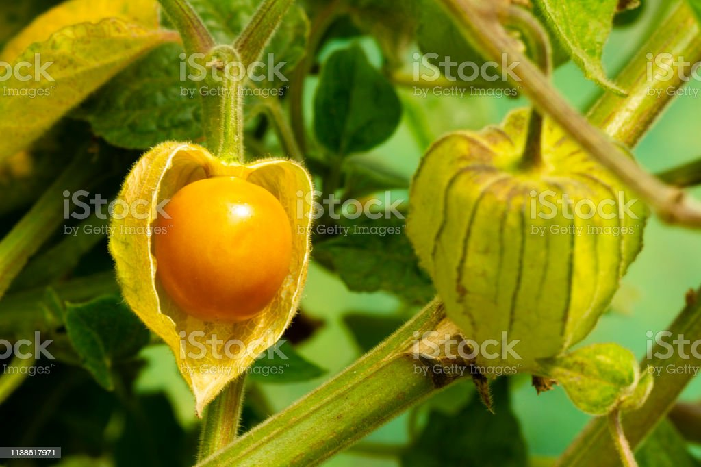 Cape Gooseberry Physalis Peruviana Or Ground Cherries Winter