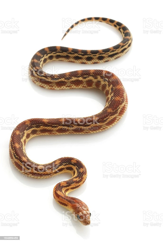 Cape Gopher serpiente - foto de stock