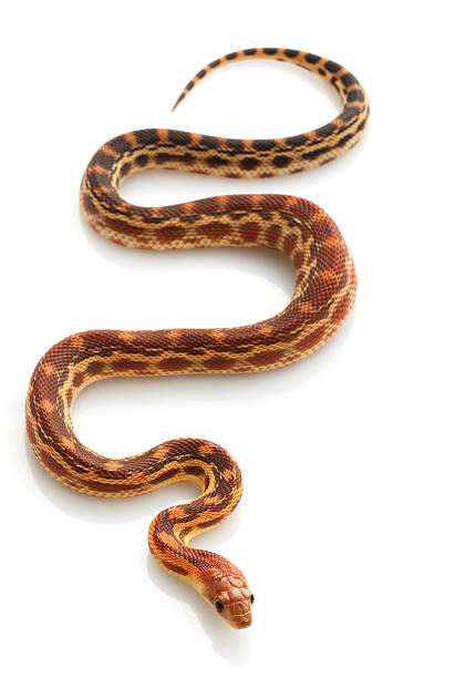 Cape Gopher Snake stock photo