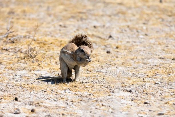 Cape ground squirrel stock photo