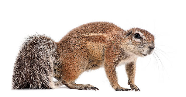 Royalty Free Squirrel On White Pictures, Images and Stock ...