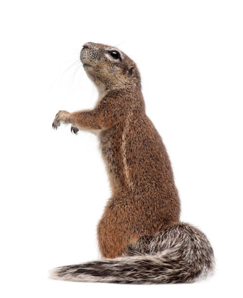 cape ground squirrel, xerus inauris, standing against white background - squirrel stock photos and pictures