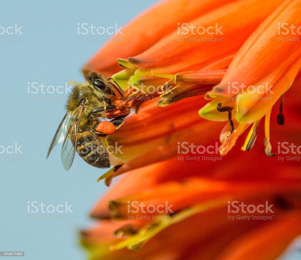Cape Honey Bee stock photo