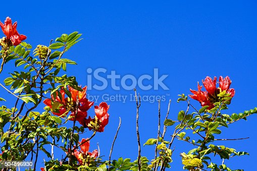 Tecomaria capensis in front of a blue sky