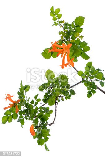 Cape honeysuckle's orange flower blooming(Tecomaria capensis) isolated on white background.