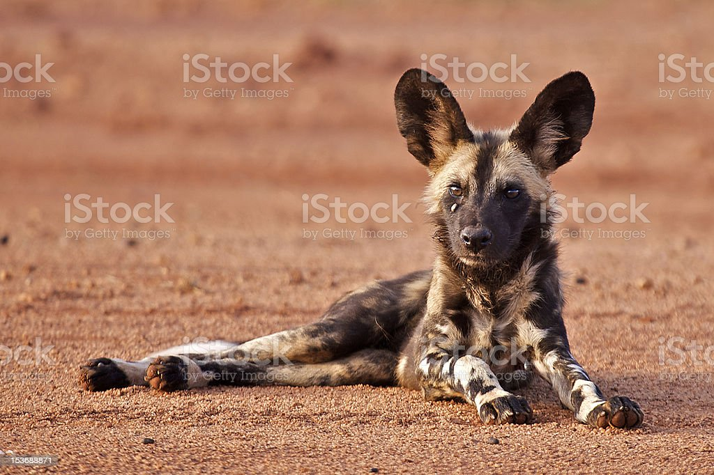 Cape Hunting Dog stock photo