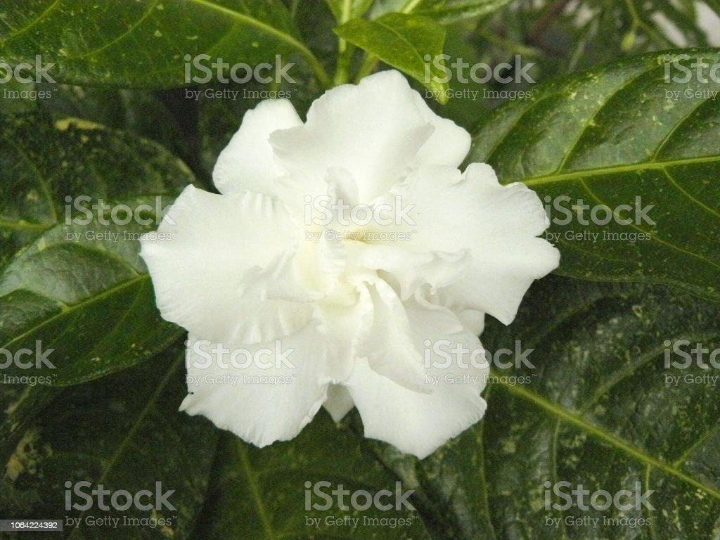 Close up a top view of white Cape jasmine or Gardenia jasmine Flower...