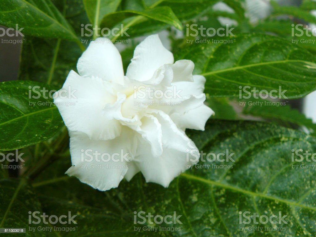 Close up side view of white Cape jasmine or Gardenia jasmine Flower (...