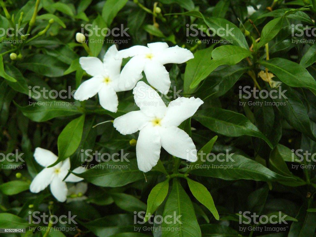 Cape jasmine or gardenia jasmine flower gardenia angusta stock photo cape jasmine or gardenia jasmine flower gardenia angusta royalty free stock photo izmirmasajfo
