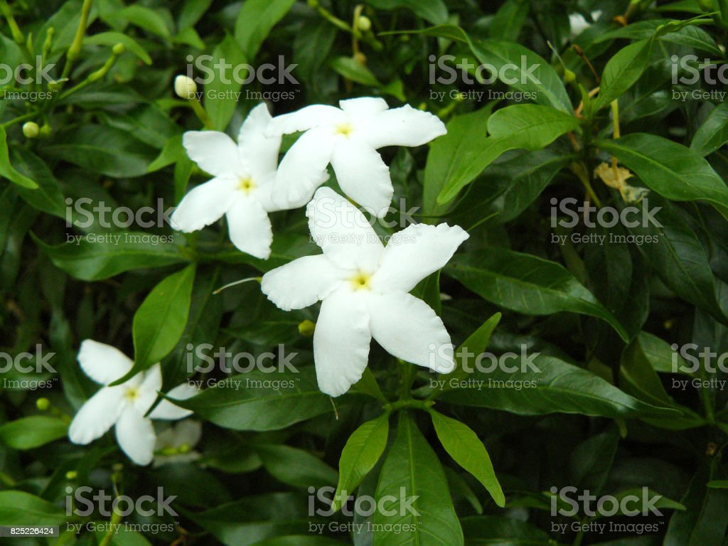 Cape Jasmine Or Gardenia Jasmine Flower Gardenia Angusta Stock Photo