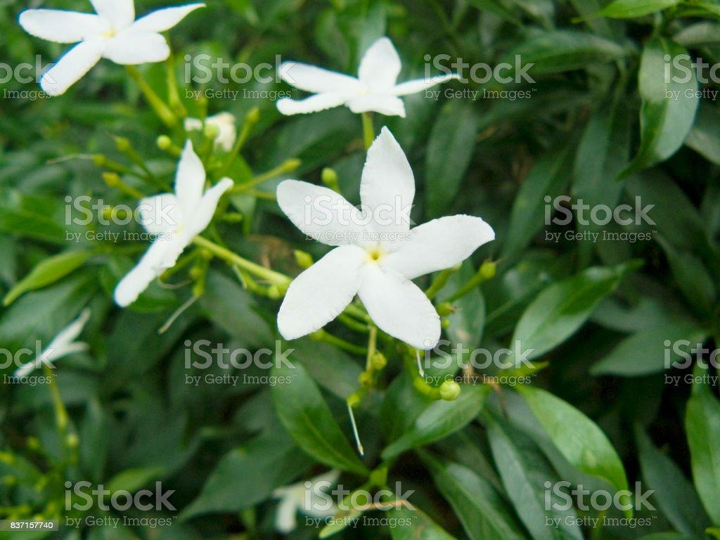 Close up of white Gerdenia Crape Jasmine Flower Beautiful flower from...