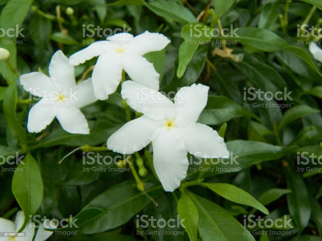 Cape Jasmine Or Gardenia Jasmine Flower Gardenia Angusta Stock Photo