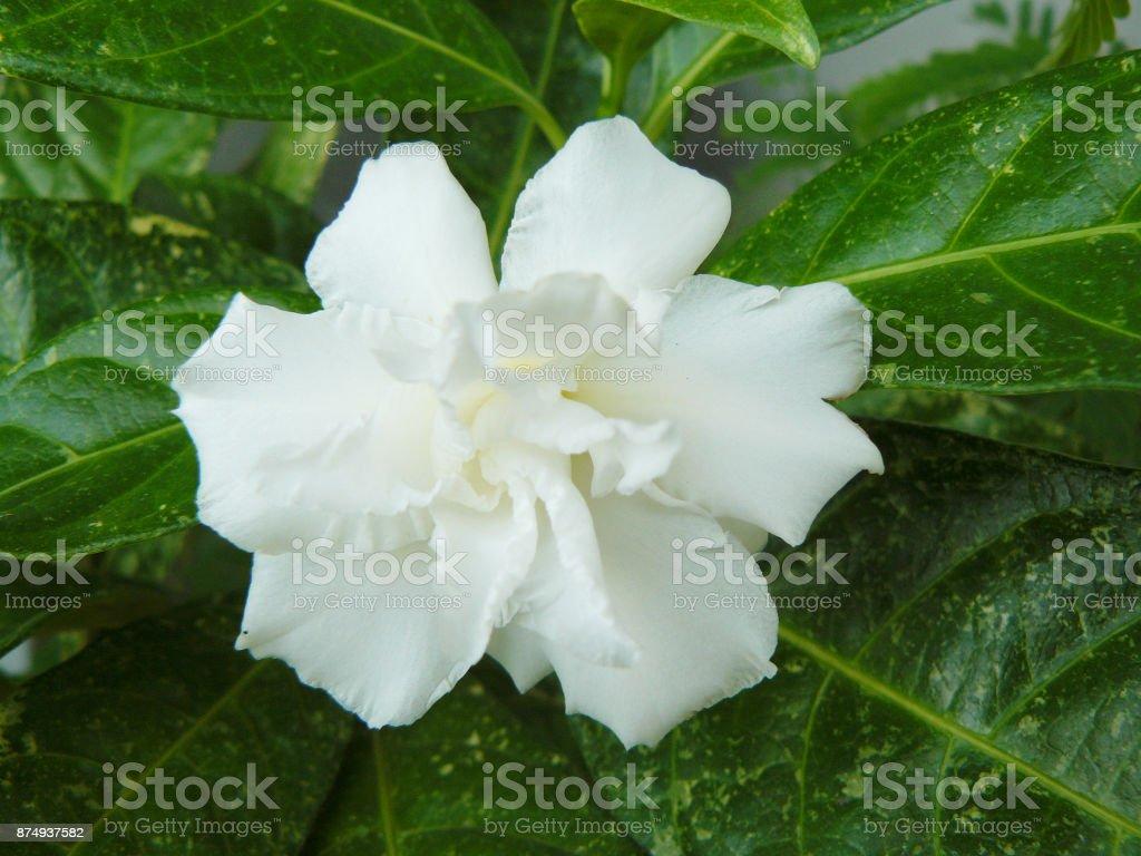 Close up of white Cape jasmine or Gardenia jasmine Flower ( Gardenia...