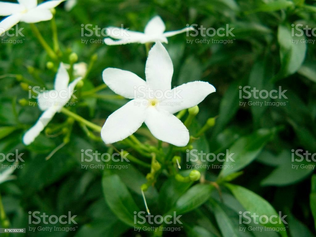 Close up of white gerdenia crape jasmine flower beautiful flower close up of white gerdenia crape jasmine flower beautiful flower from izmirmasajfo