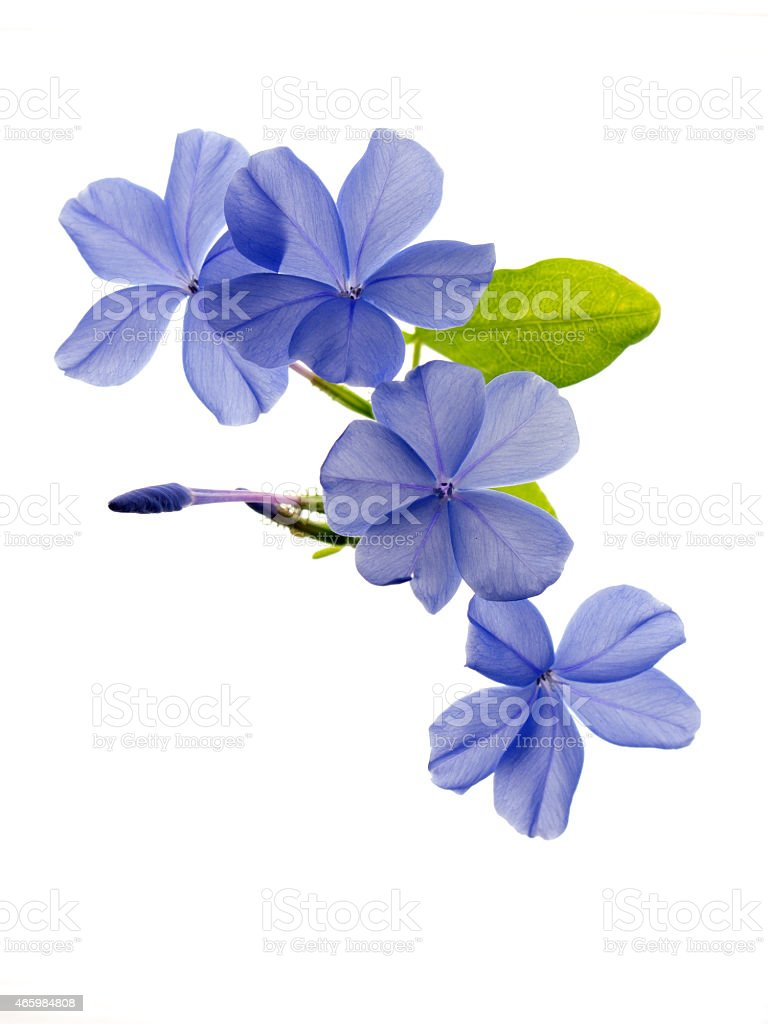 Cape leadwort on white (vertical position) stock photo