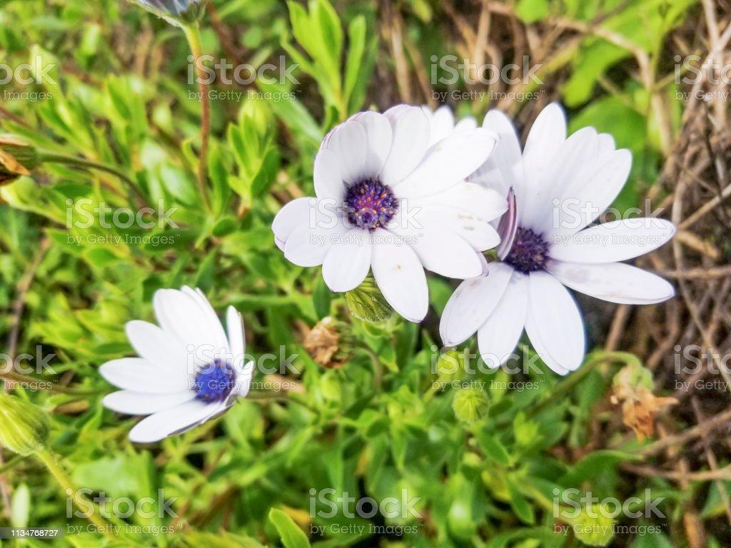 Margarita del cabo, Río de domingos o arbusto blanco de la Margarita - foto de stock